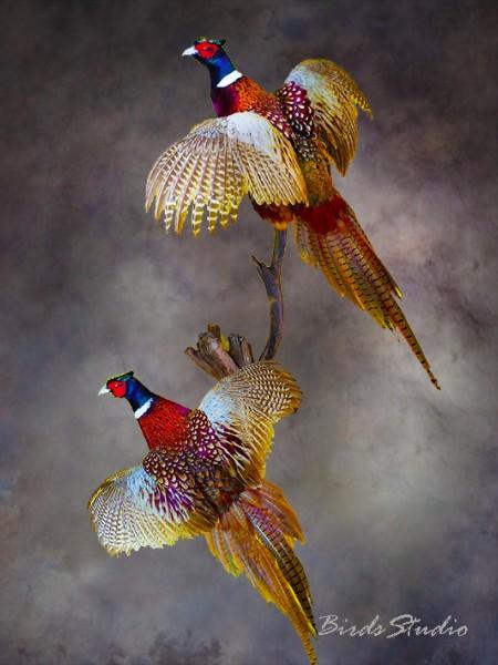 фазан охотничий два в полете