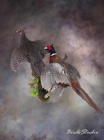 Купить чучело фазаны в полете