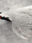 Серебряный фазан