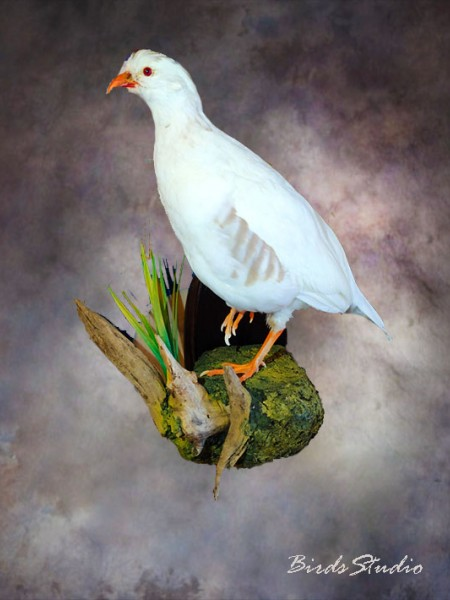 Чучело белая каменная куропатка