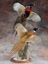 Чучело два летящих охотничьих фазана
