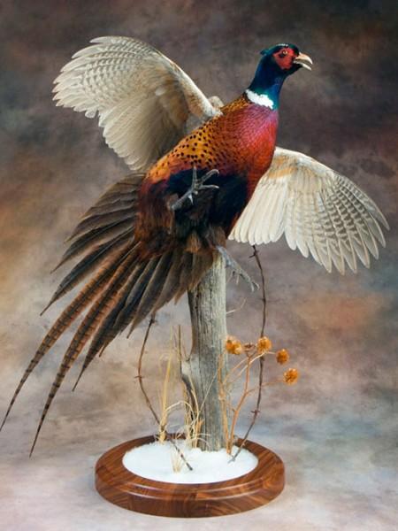 Чучело птицы фазан летящий