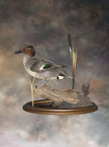 Чучело птицы утки чирок-свистунок