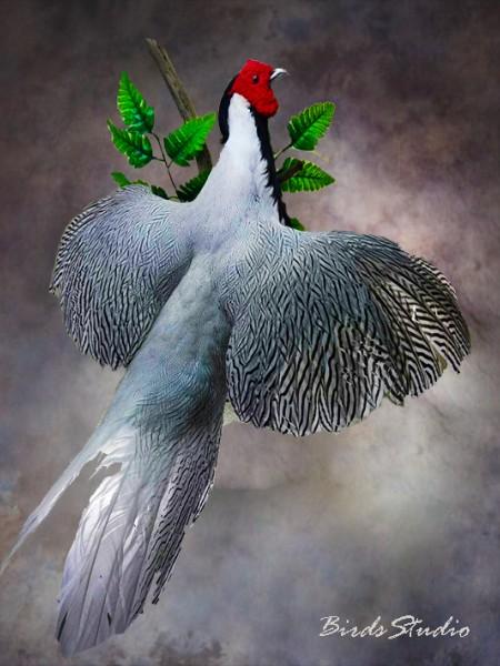 Серебрянный фазан