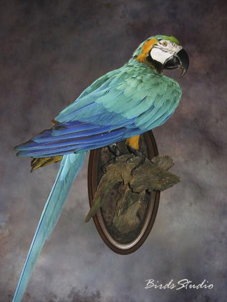 Чучело птицы попугай ара
