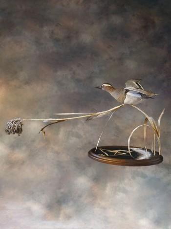 Чучело птицы чирок-трескунок