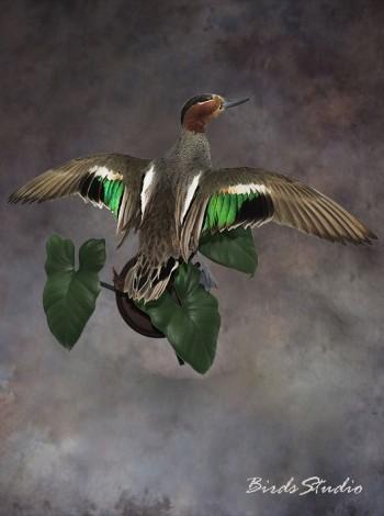 Чучело птицы утки чирок-свистунок в полете