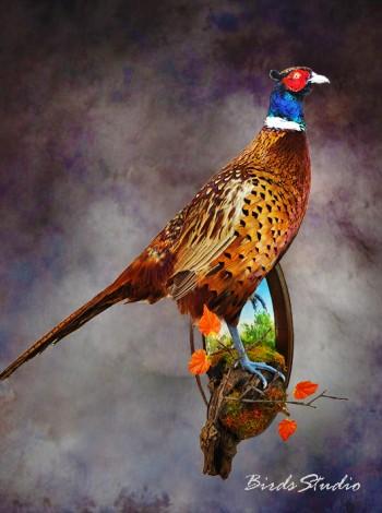 Купить чучело фазана