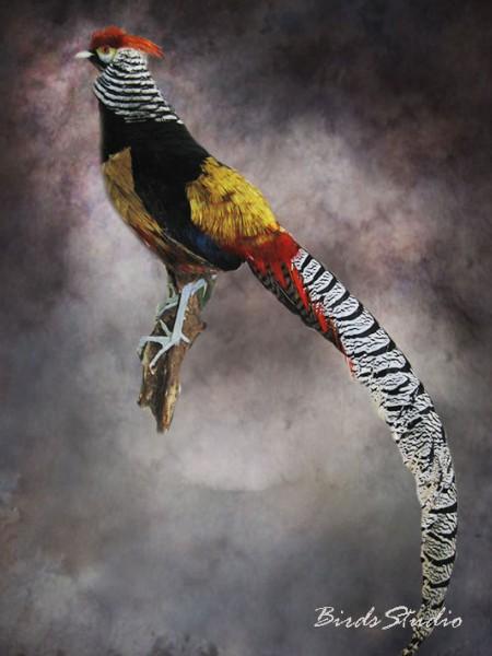 Чучело фазан золотой