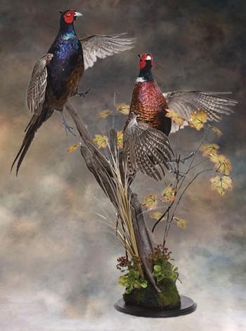 Чучело птиц охотничьих фазанов