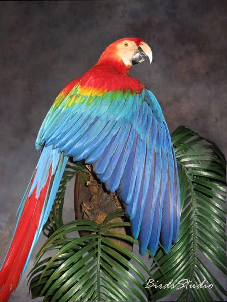 Чучело птицы красно синий ара