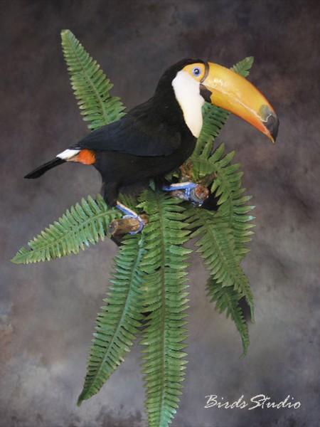 Чучело птицы тукан