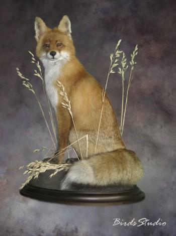 Отзыв о компании Birdsstudio изготовление чучела лисы